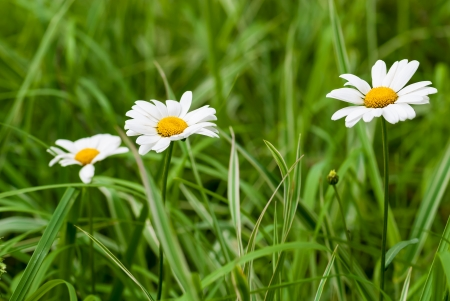 Three chamomiles in the grass outdoors. photo