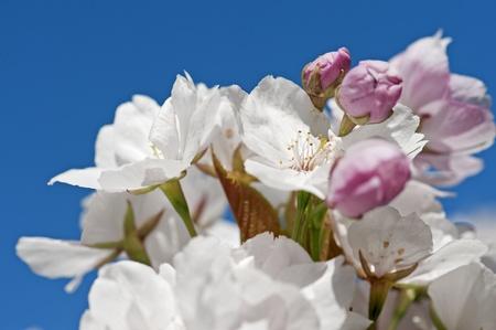 flor de durazno: Flor del manzano close-up sobre fondo de cielo azul Foto de archivo