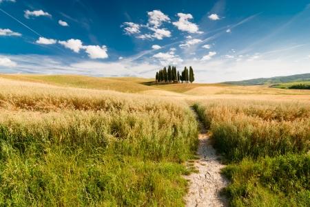 grassy field: Cypress trees on the field  Tuscany, Italy