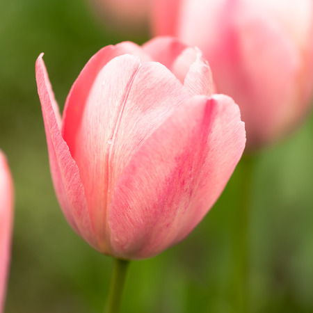 Close-up of pink tulips in a flower garden photo