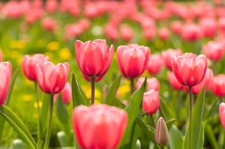 Spring flowerbed with pink tulip flowers. photo
