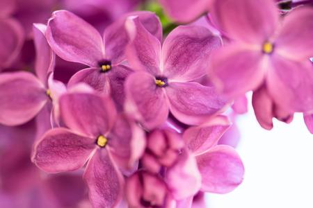 violaceous: Purple lilac close-up background, shallow DOF.