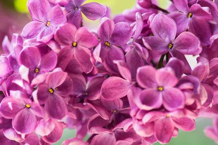 violaceous: Purple lilac close-up