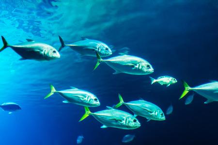 exoticism saltwater fish: School of fishes underwater. Photo taken in aquarium of City of Arts and Sciences, Valencia.