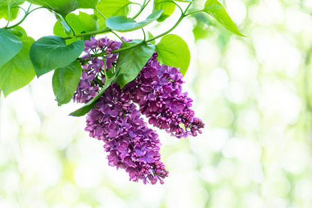 violaceous: Purple lilac flowers outdoors against blurred background.
