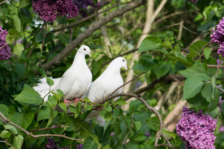 ornamental bush: Couple lover of white pigeons perching on the branch.