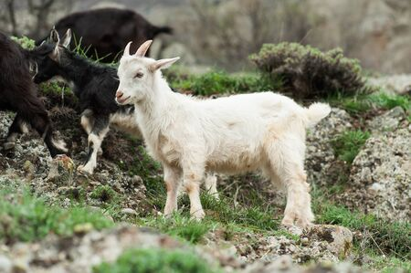 domestic scene: Young white  goat in the mountains of Crimea, Ukraine.