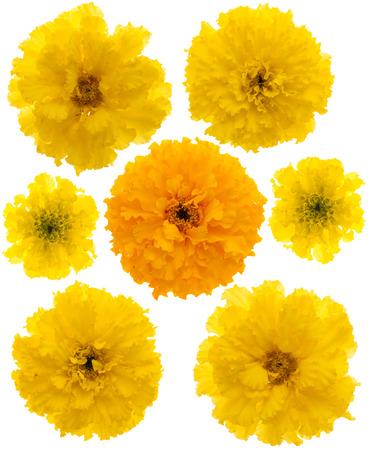 tagetes: Set of 7 yellow marigolds (Maxima Yellow) isolated on white.