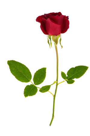 Single red rose flower with stem and leaves isolated on white background