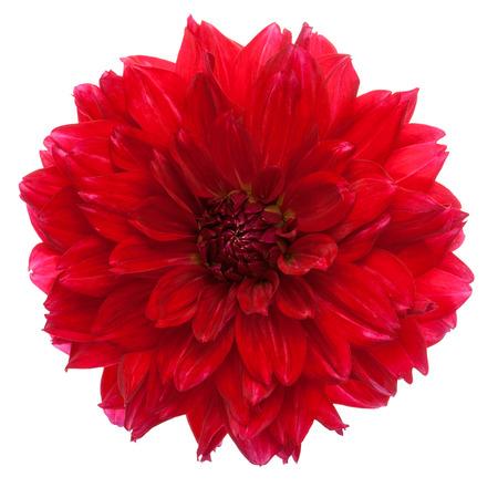 dalia: Primer plano de la hermosa dalia rojas aisladas sobre un fondo blanco.