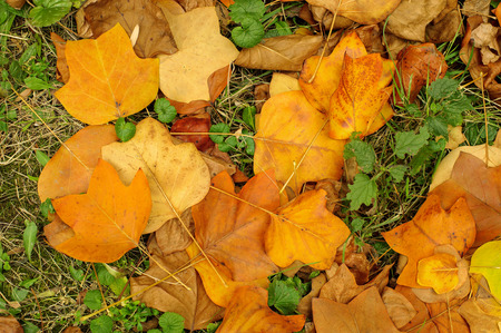 A closeup of a grungy Yellow Poplar leaves in autumn foliage colors on the ground. photo