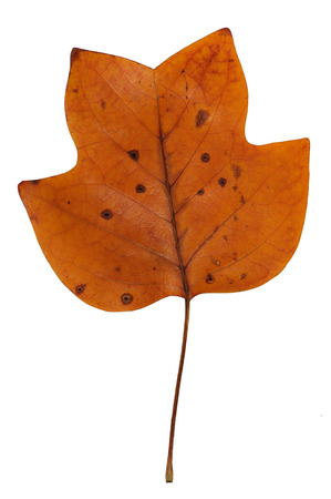 A closeup of a grungy Yellow Poplar leaf in autumn foliage colors isolated against a white background photo