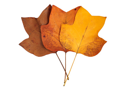 A closeup of a grungy Yellow Poplar leaves bouquet in autumn foliage colors isolated against a white background. photo