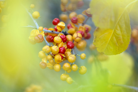 dof: Close-up of Bittersweet berries, abstract autumn background, selective focus, shallow DOF.