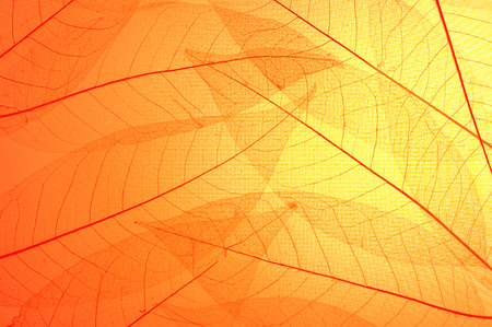 background orange: Red and yellow skeleton leaves  abstract background