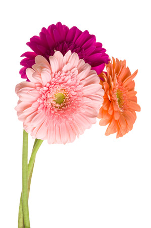 Beautiful bunch of varicolored daisy-gerbera flowers isolated on the white background. Stock Photo