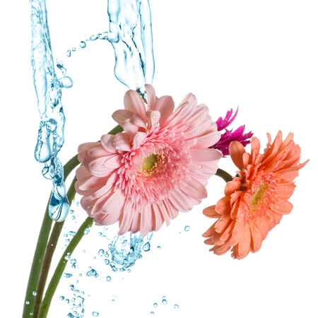 splash mixed: Beautiful bunch of varicolored daisy-gerbera flowers with water splash isolated on the white background.
