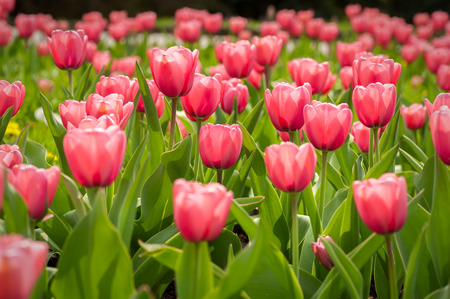 flower close up: Spring flowerbed with pink tulip flowers. Stock Photo