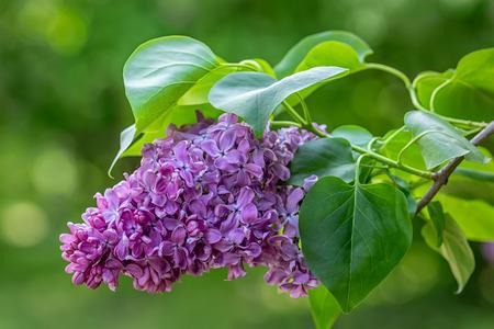 Prachtige paarse lila bloemen buiten.