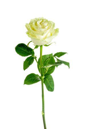 tallo: Hermosa rosa blanca aislada en un fondo blanco
