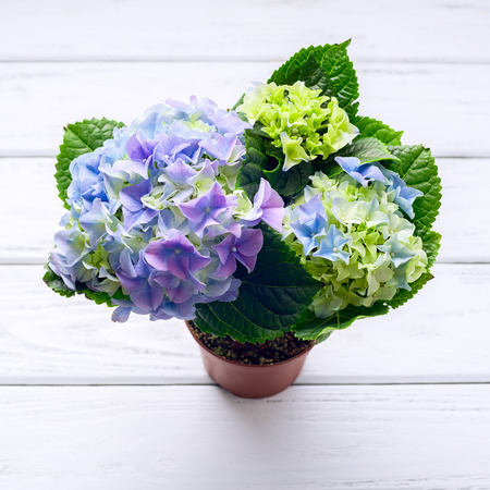 floral arrangements: Blue hydrangea flowers on white wooden table, top view.
