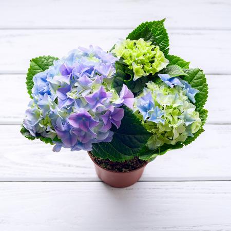 floral arrangements: Blue hydrangea flowers on white wooden table, top view.