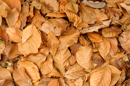 Dry golden brown leaves on the forest floor. Autumn background.
