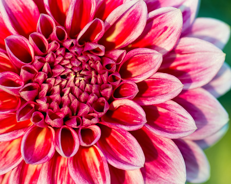 flower close up: Close-up of chrysanthemum flower. Abstract blossom background. Shallow DOF. Stock Photo