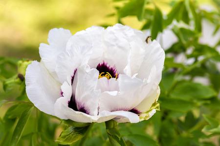 peony tree: Grande fiore bianco sbocci� albero peonia close-up.