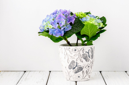 flower arrangements: Blue hydrangea flowers on white wooden table against white wall, side view. Stock Photo