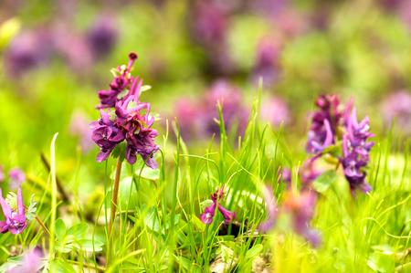 corydalis: Natural spring background - Corydalis solida (fumewort) flowers in nature. Shalow DOF. Stock Photo