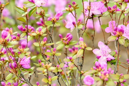 ornamental bush: Rhododendron or Azalea blossoms bush, bright pink flowers ornamental garden deciduous shrub blooming in spring. Soft focus. Natural spring background. Stock Photo