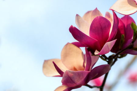 Soft focus image of blossoming magnolia flowers in spring time. Shallow DOF. Against blue sky. Imagens