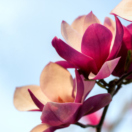 shallow focus: Soft focus image of blossoming magnolia flowers in spring time. Shallow DOF. Against blue sky. Stock Photo