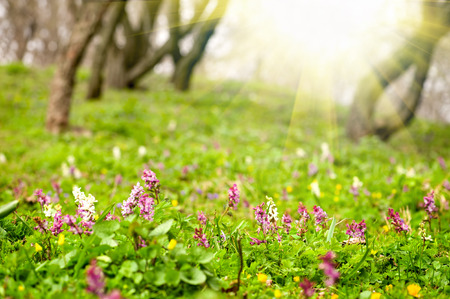 corydalis: Natural spring background - Woodland carpeted in Corydalis solida (fumewort) flowers in spring. Shalow DOF. With sun flare. Stock Photo