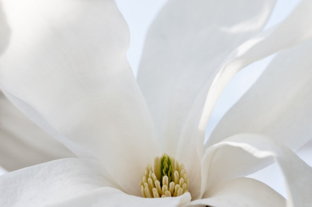white flowers: White magnolia flower blossom, macro view, soft background, abstract natural background, high key. Stock Photo