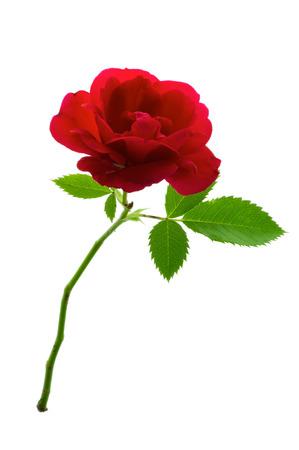 rosas rojas: Única rosa roja flor con tallo y hojas aisladas sobre fondo blanco puro.