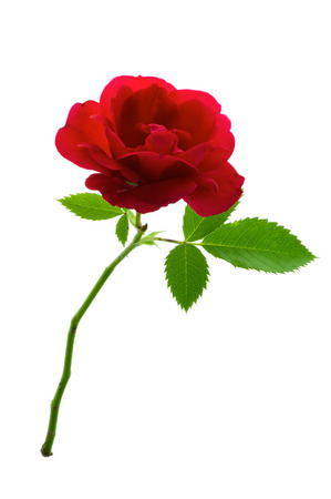single red rose: Single red rose flower with stem and leaves isolated on pure white background.
