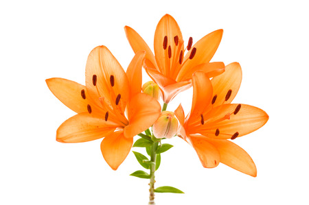tiger lily: Orange yellow tiger lily isolated on white background