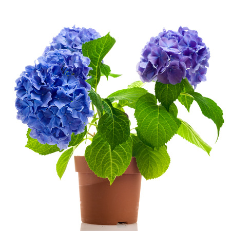 Blue and purple hydrangea in the pot isolated on white background