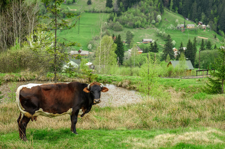 vorohta: Brown cow in in the mountain village. Photo taken in springtime in Vorohta, Ukraine. Stock Photo