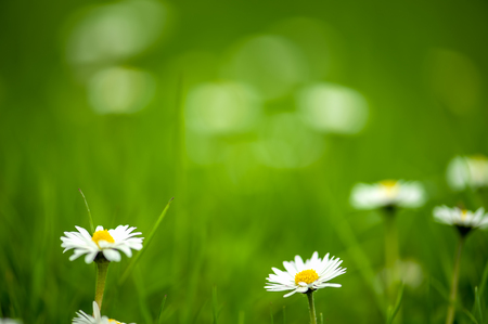 Daisy on blurred green grass background, very shallow DOF. The focus is on the daisy in center. Stock Photo
