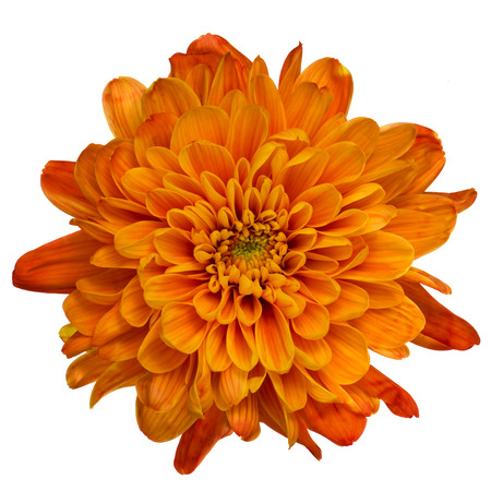 Beautiful orange chrysanthemum flower isolated on white background