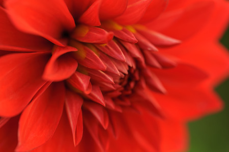 angle view: Red dahlia petals macro, floral abstract background. Shallow DOF, outdoor shot, angle view. Stock Photo