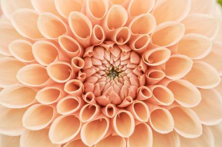 dalia: pétalos de dalia naranja macro, fondo abstracto floral. DOF bajo. Clave alta.