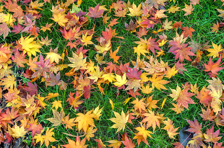 garden lawn: Colorful fall maple leaves  on a background of green grass. Top view.
