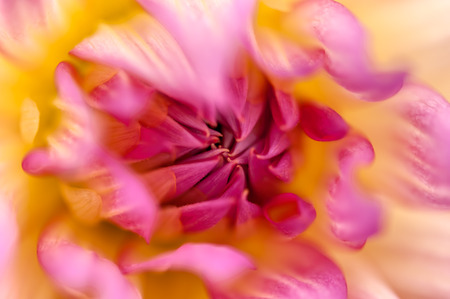 Colorful dahlia petals macro, floral abstract background. Shallow DOF, very soft focus.