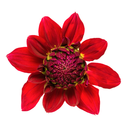 bourgeon: Close-up of beautiful red dahlia isolated on a white background. Bud state. Stock Photo