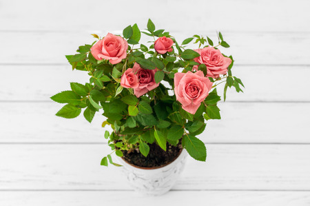 plant in pot: Pink roses in a flowerpot on white wooden background.