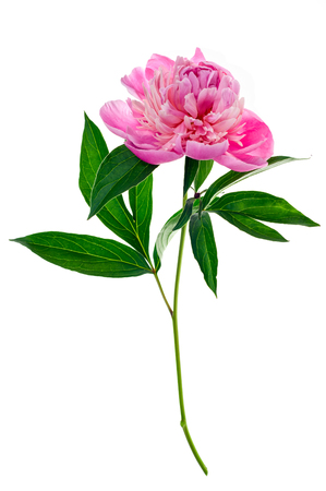 stalk: Studio shot of pink colored peony isolated on white background. Side view.